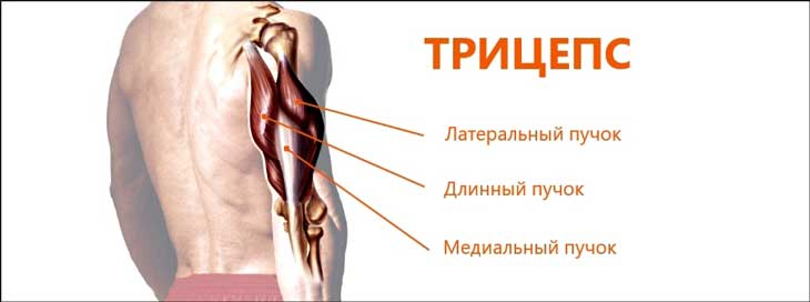 Triceps anatomy, exercises and tips part 1